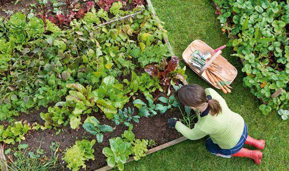 PunjabKesari, Home Garden Image, Kitchen Garden Image, Winter Vegetables Image