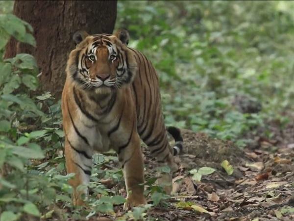 PunjabKesari, Madhya Pradesh News, Mandla News, Kanha Tiger Reserv, Kanha National Park, Leopard, hunting, chital, forestry