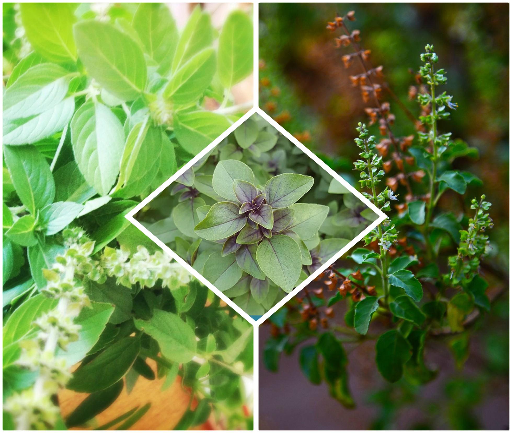 PunjabKesari,tulsi plant images, basil