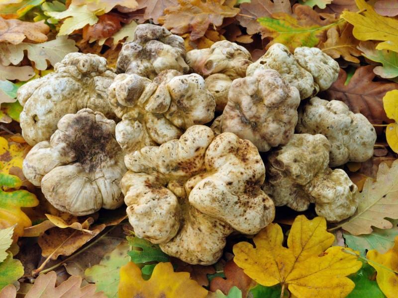 PunjabKesari, White Truffles Image, Expensive Food Items Image, व्हाइट ट्रफल इमेज