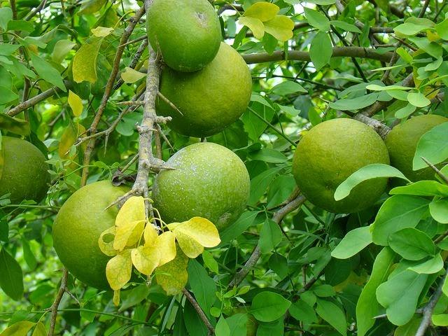 PunjabKesari, Dharam, pitru paksha, Trees worship in pitru paksha, Trees worship, Vine tree