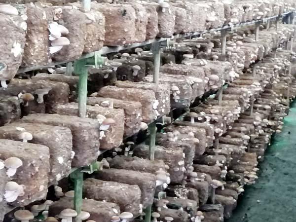PunjabKesari, Shiitake Mushroom Image