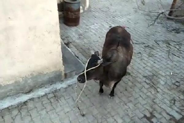 PunjabKesari, cow
