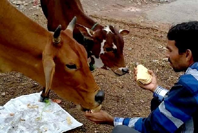 जानिए, गाय को रोटी खिलाने के फायदों ...