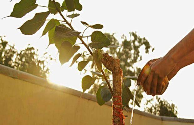 PunjabKesari, पीपल, पीपल का पेड़, Peepal, Peepal Tree