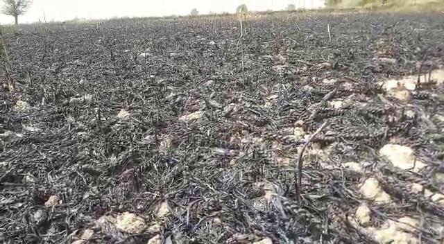 PunjabKesari, fire in fields