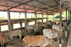 demand of cow shed in ghagwal for stray cattles