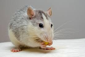 PunjabKesari, चूहे रखना, Mouse