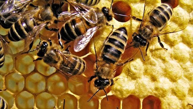 PunjabKesari, मधुमक्खी