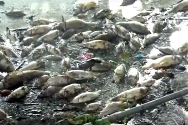 PunjabKesari, Dead Fish Image