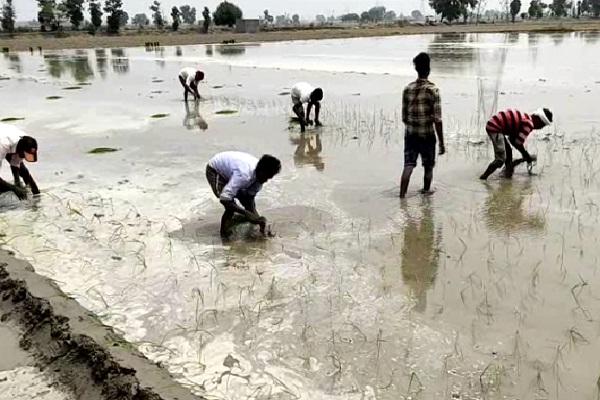 PunjabKesari, harvesting