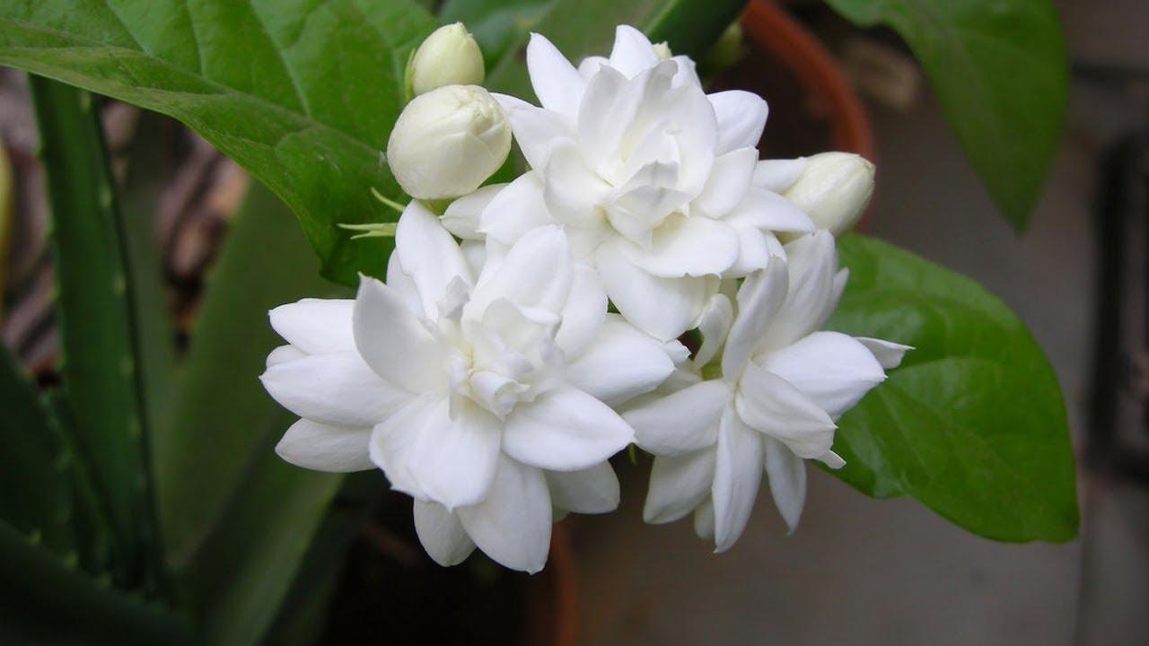 PunjabKesari, Mongra Plants