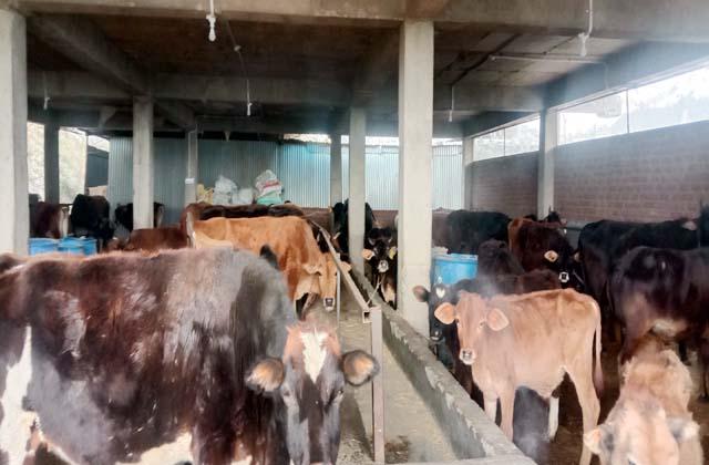 PunjabKesari, Cows Image