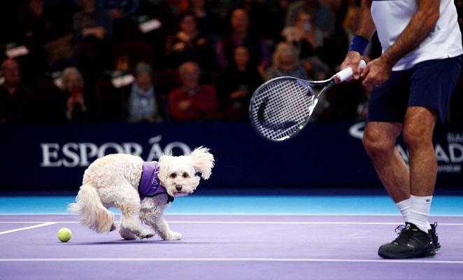 Ball Boy Dog in Tennis