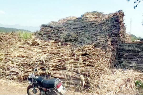 PunjabKesari, Sugarcane Crop Image