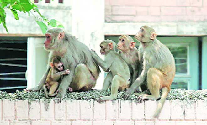 residents blamed for rise in monkey in city