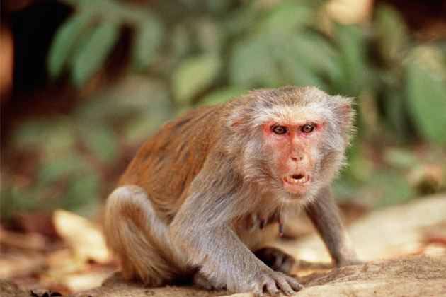 growing monkey menace in punjab university