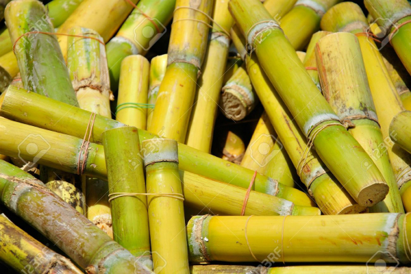 sugarcane mills managers will act against non payment