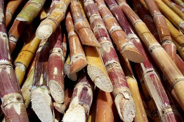 sugarcane  uttar pradesh