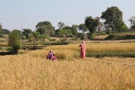 harvesting paddy crop near the india pakistan international border