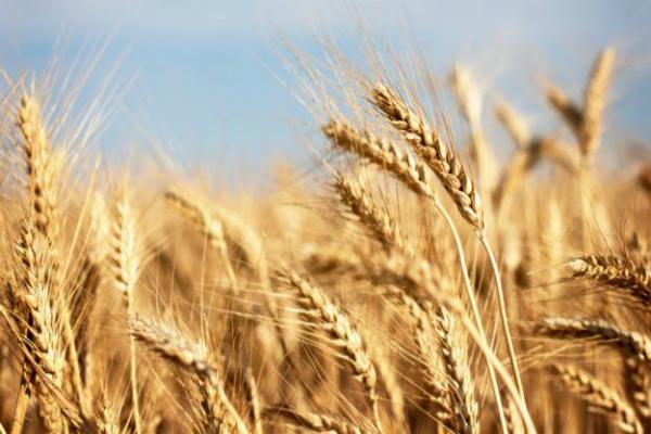 fci wheat