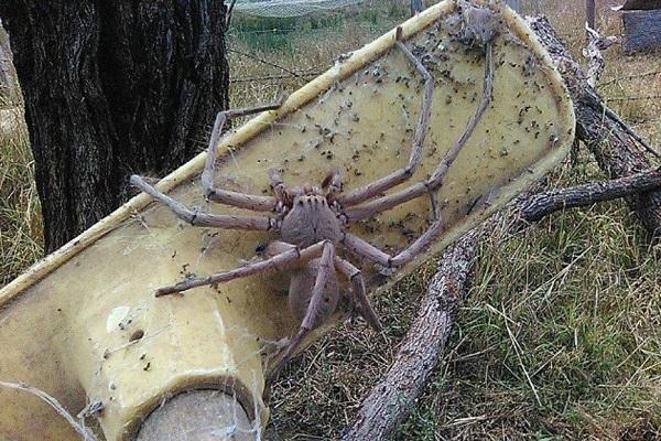 biggest huntsman spider seen in queensland