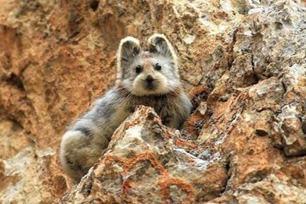 after 20 years  showed rare creature   ochotona iliensis