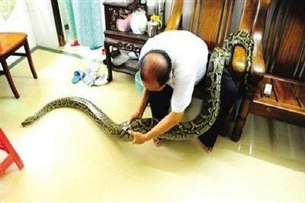 chinese couple raise 3 7meterlong python as their child
