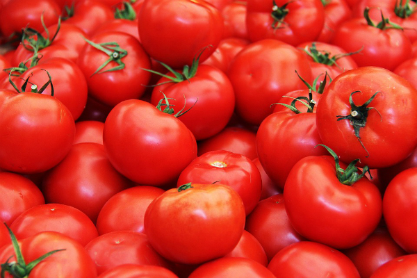 in madhya pradesh  a large consignment of tomatoes  forcing farmers to feed livestock