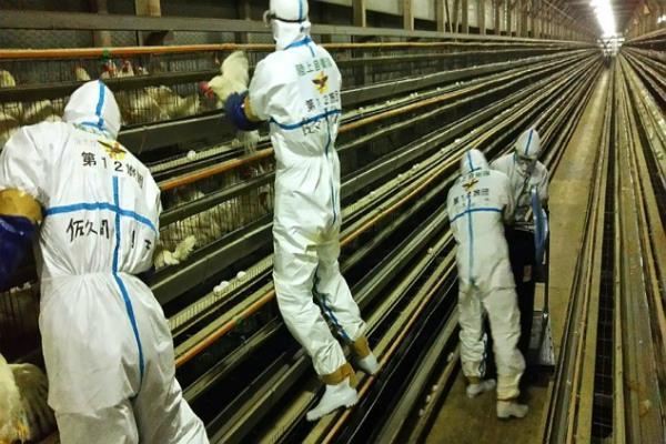 japan culling 230 000 more birds over avian flu