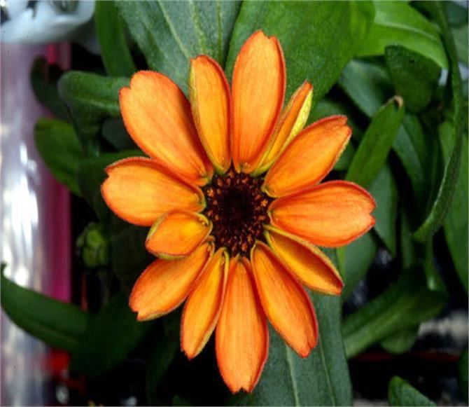 nasa scientist grown flower on international space station