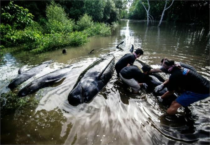 dozens of pilot whales stranded in indonesia eight dead