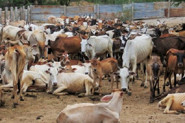 Image result for 500 गायों की मौत
