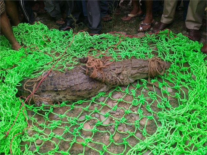 crocodile caught in kathua