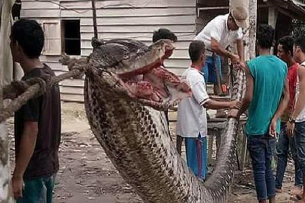 indonesia robert nebbinan python