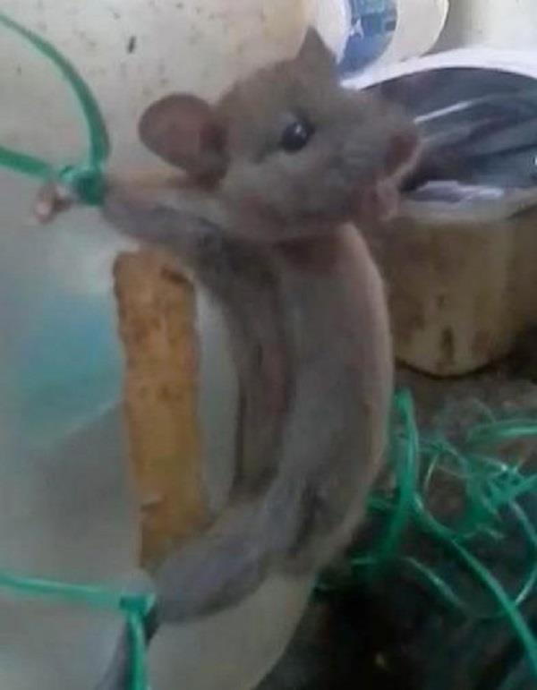 shopkeeper ties up mouse and tortures it for stealing