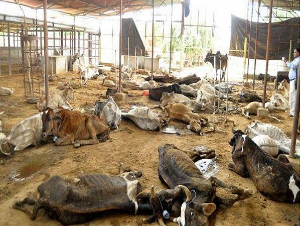 28 cows died in gaushala in 15 days