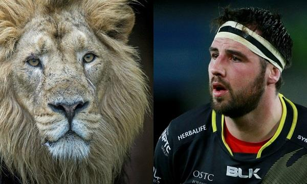 lion bites rugby player s hand as he tries to pet the beast
