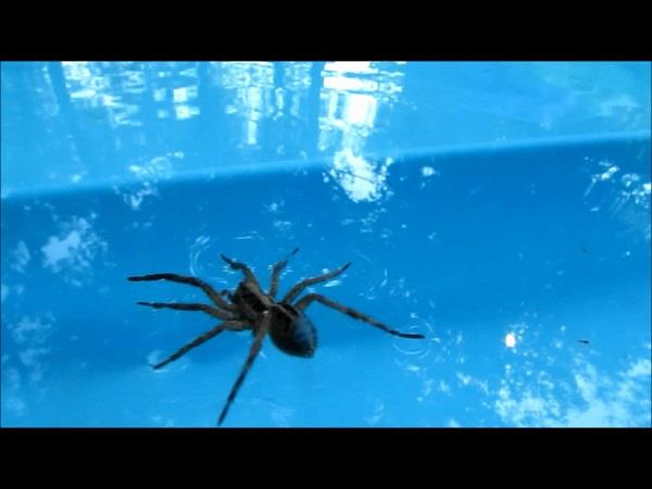 amazing  spider can walk in water also