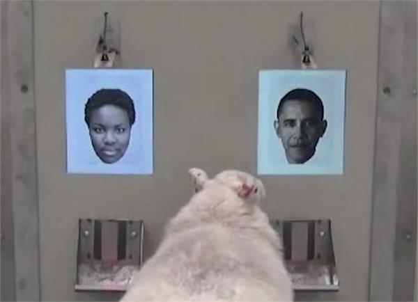 sheeps can  recognizes celebrities