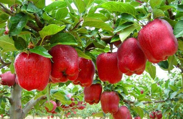 kashmiri apple will enjoy 15 20 cheaper cheaper this year