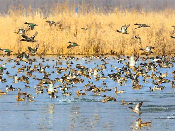 migrartory birds reached kashmir