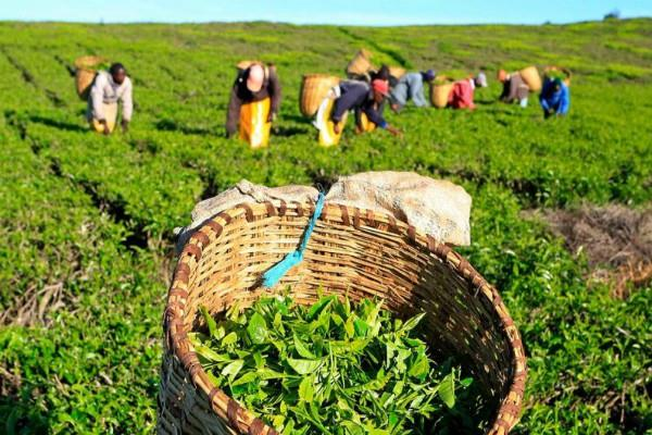 tea production affected in northern india due to heavy rains