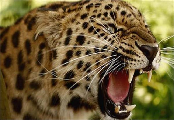 man eating leopard was caught and kept in jail several hours later