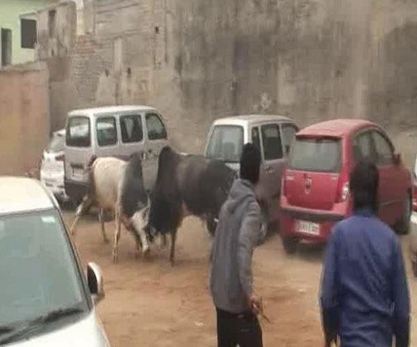 fierce fighting of two bulls in car parking several cars broken