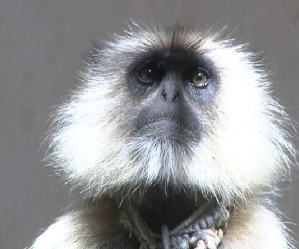 langoor will tackle the monkeys terror
