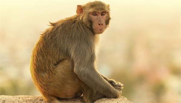 young man died because of monkey attack  now family get compensation