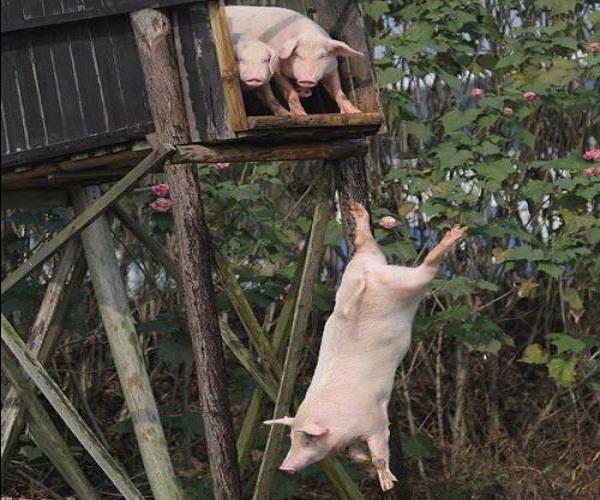 सुअरों को तैराकी सिखाता है यह शख्स!