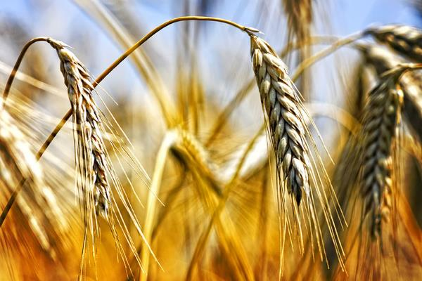 decrease in wheat prices last week in mixed trade