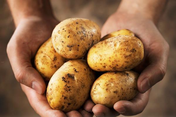india  s potato output to hit near record level at 47mln tonnes